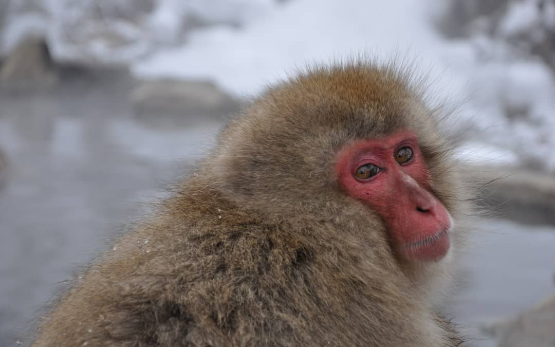 Snow-monkey Japan